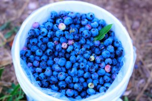 image of a white bucket holding fresh picked blueberries